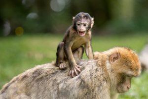 ape-berber-monkeys-mammal-affchen-50988-large